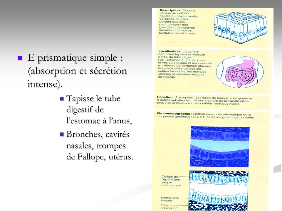 E prismatique simple : (absorption et sécrétion intense).