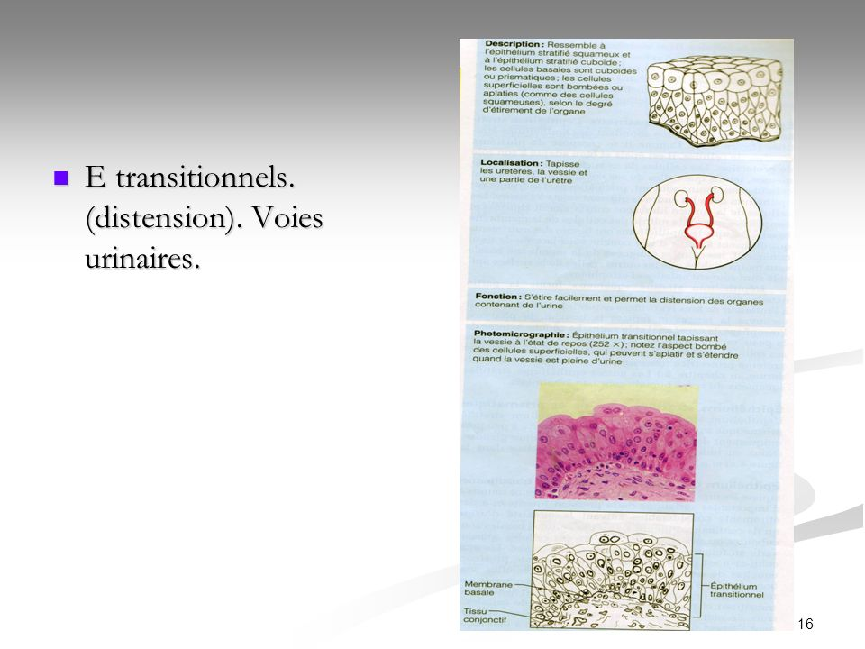 E transitionnels. (distension). Voies urinaires.