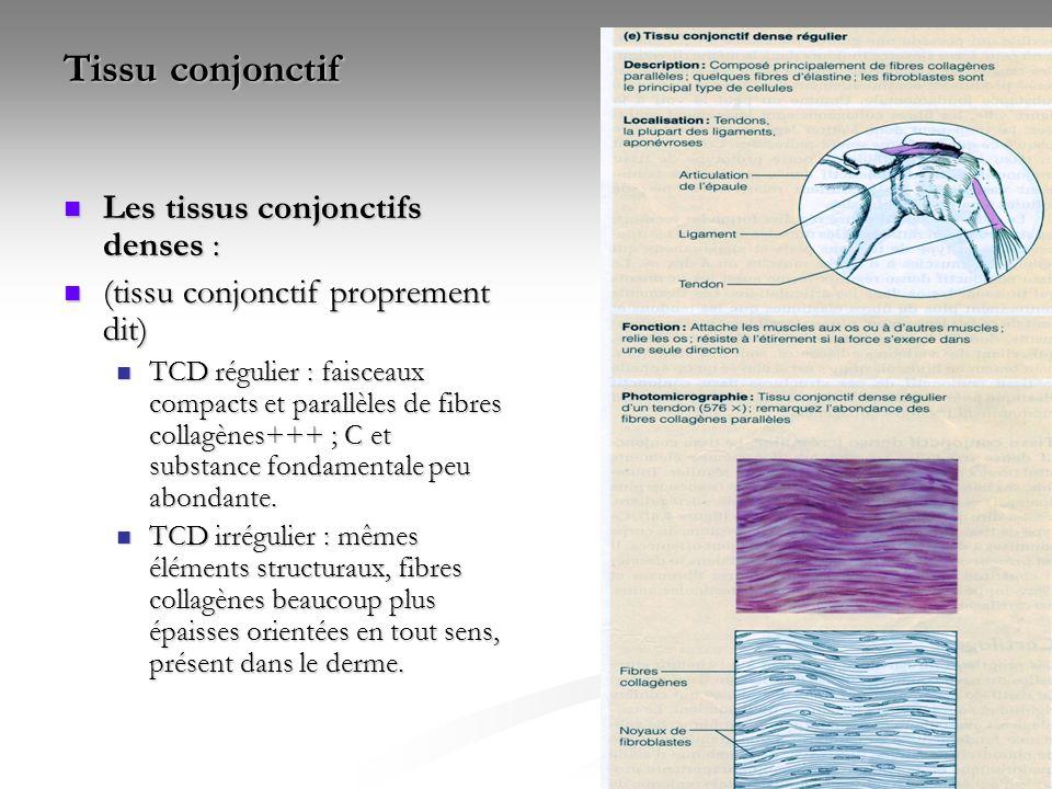 Tissu conjonctif Les tissus conjonctifs denses :