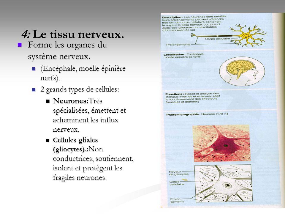 4: Le tissu nerveux. Forme les organes du système nerveux.