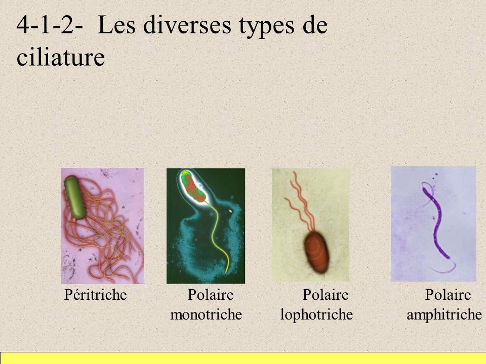 4-1-2- Les diverses types de ciliature