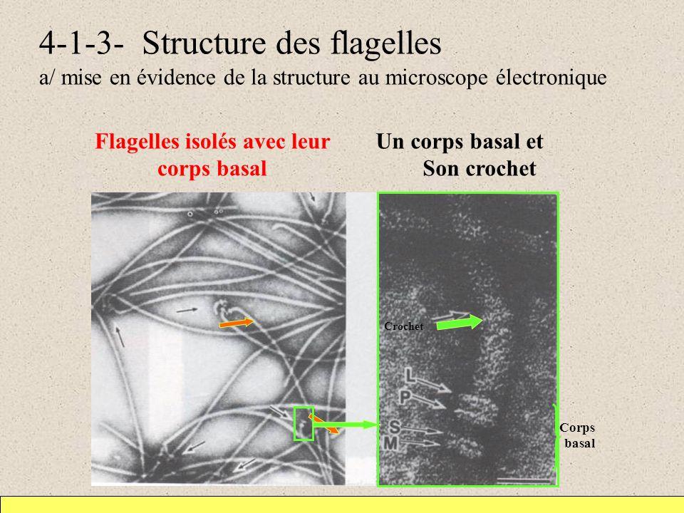 Flagelles isolés avec leur corps basal