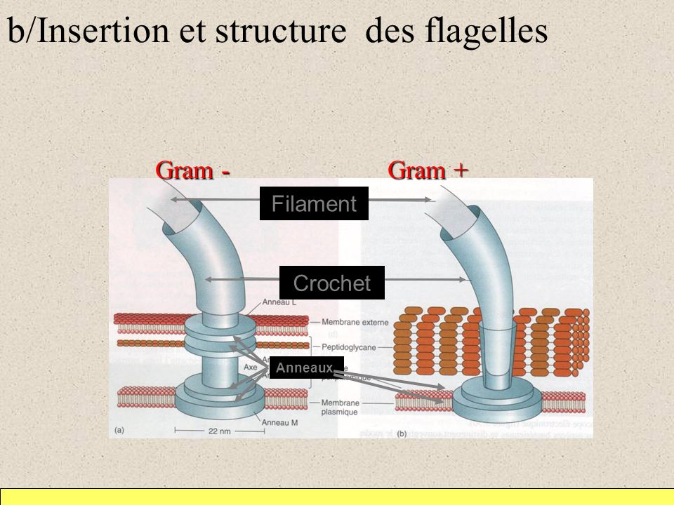 b/Insertion et structure des flagelles