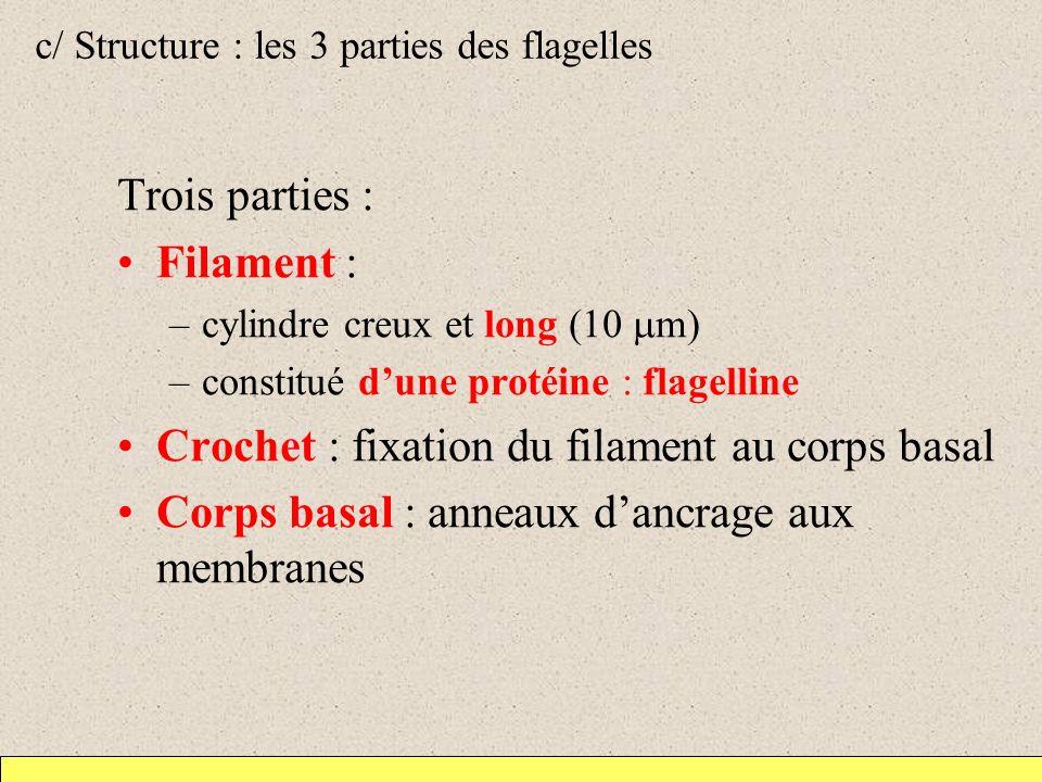 c/ Structure : les 3 parties des flagelles