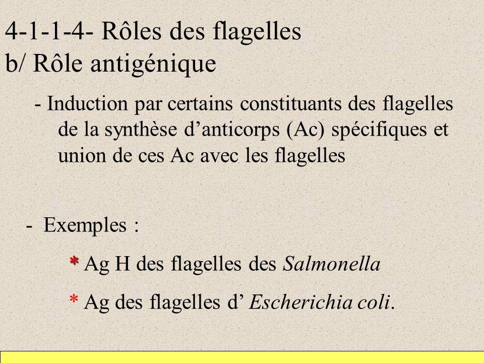 4-1-1-4- Rôles des flagelles b/ Rôle antigénique