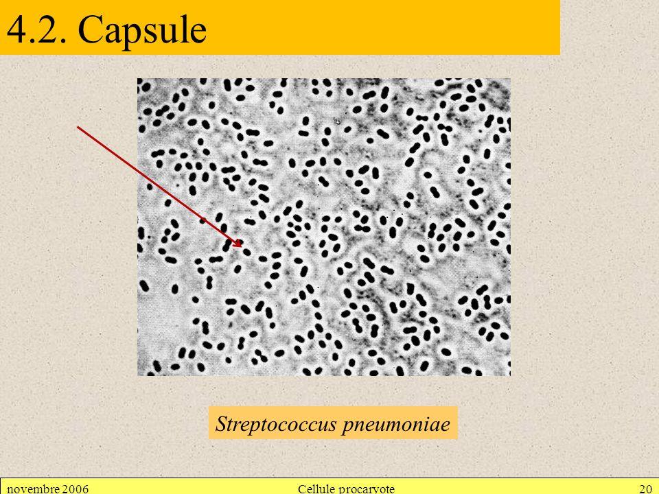 4.2. Capsule Streptococcus pneumoniae novembre 2006 Cellule procaryote