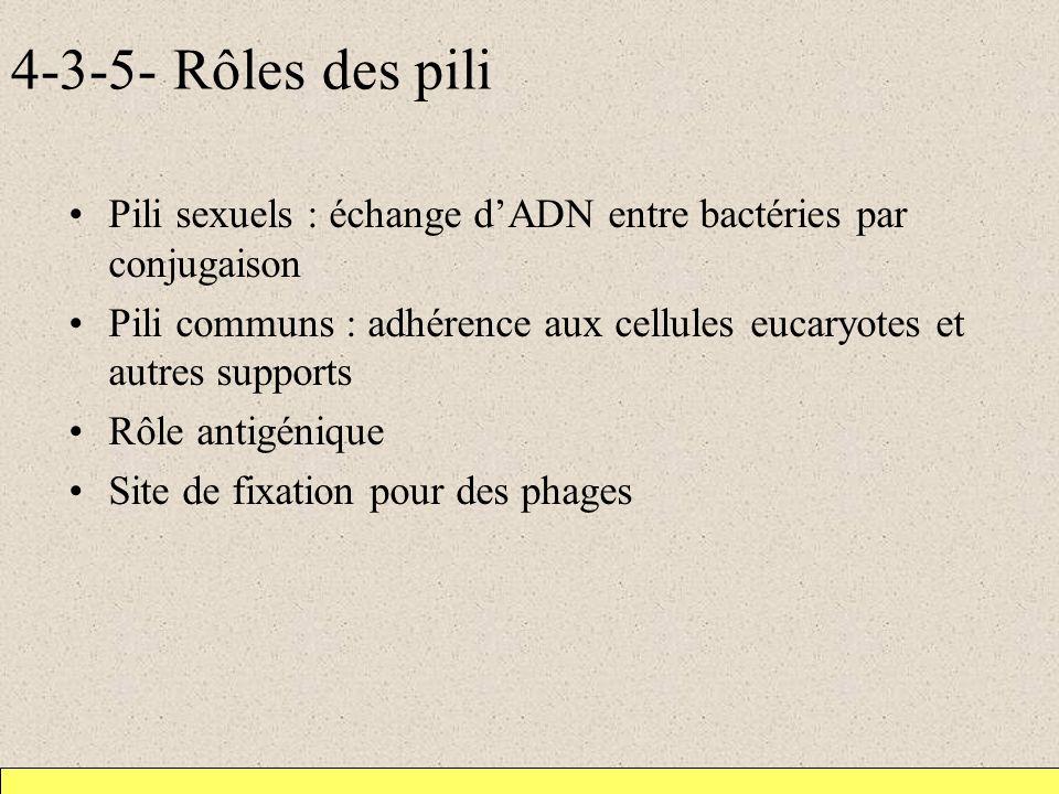 4-3-5- Rôles des pili Pili sexuels : échange d'ADN entre bactéries par conjugaison.