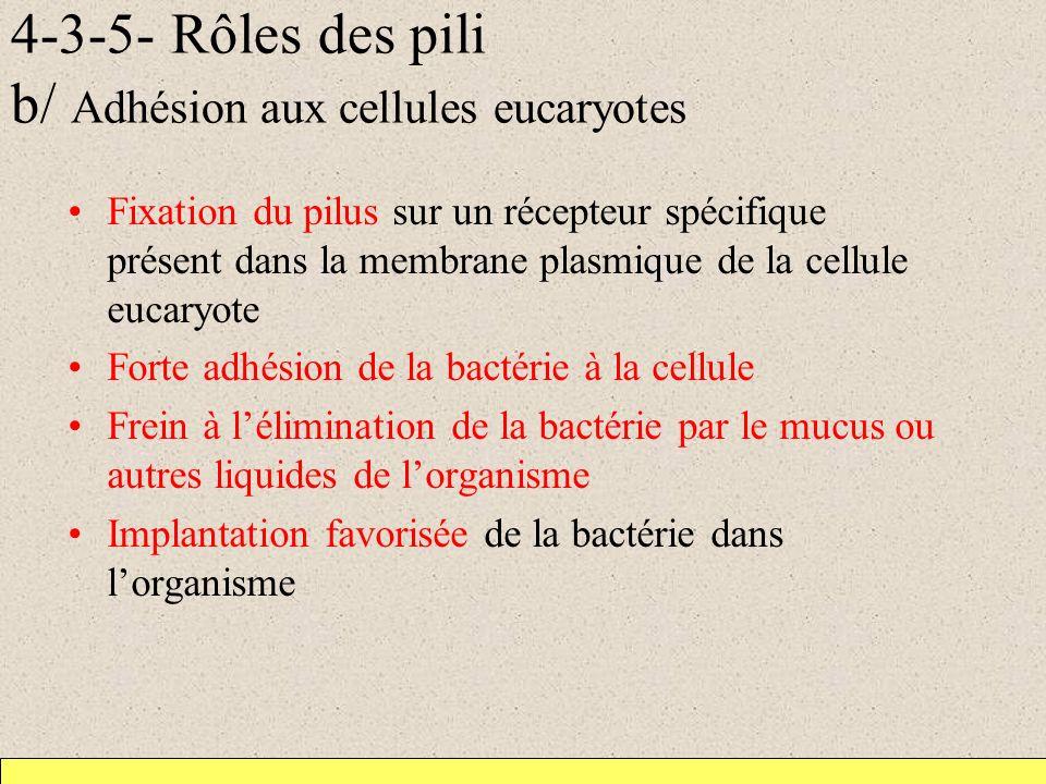4-3-5- Rôles des pili b/ Adhésion aux cellules eucaryotes