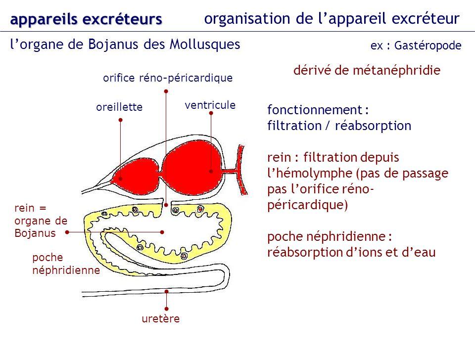 orifice réno-péricardique