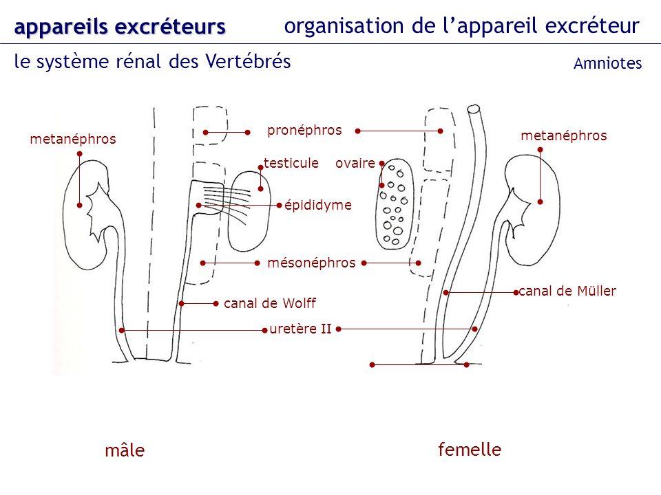 organisation de l'appareil excréteur