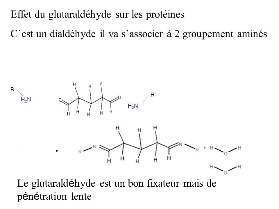 Effet du glutaraldéhyde sur les protéines