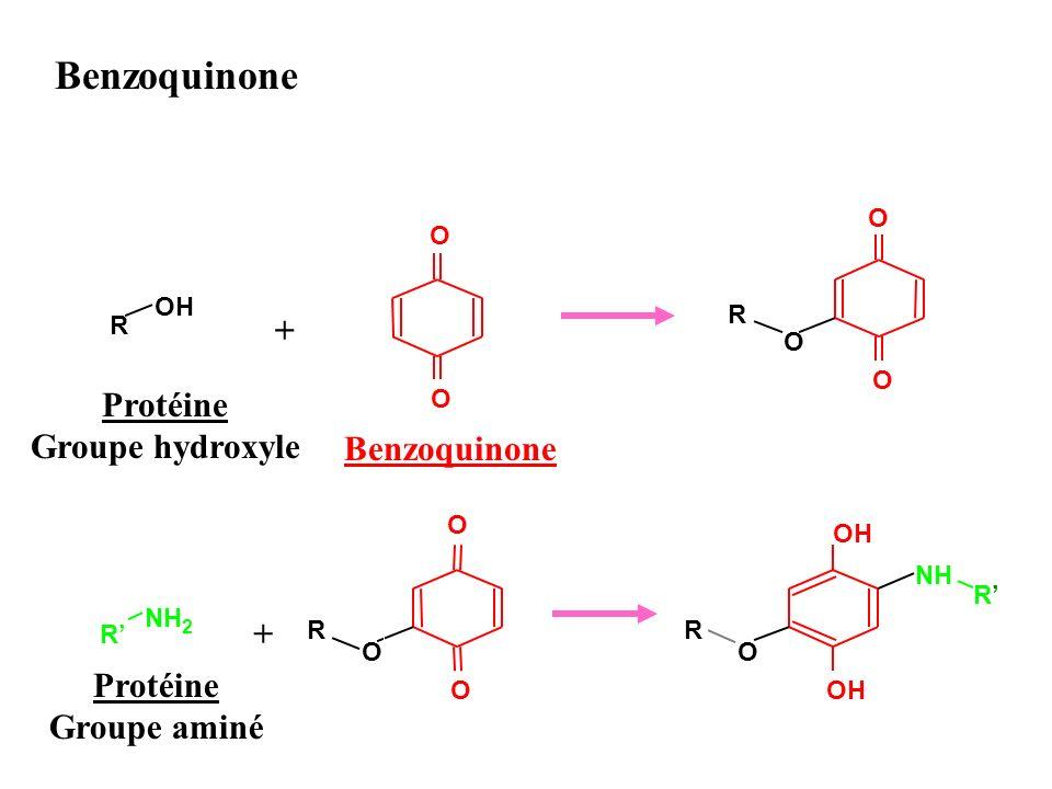 Benzoquinone + Protéine Groupe hydroxyle Benzoquinone + Protéine