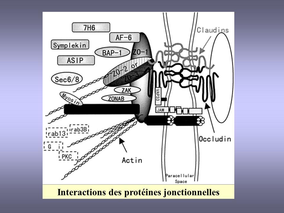 Interactions des protéines jonctionnelles