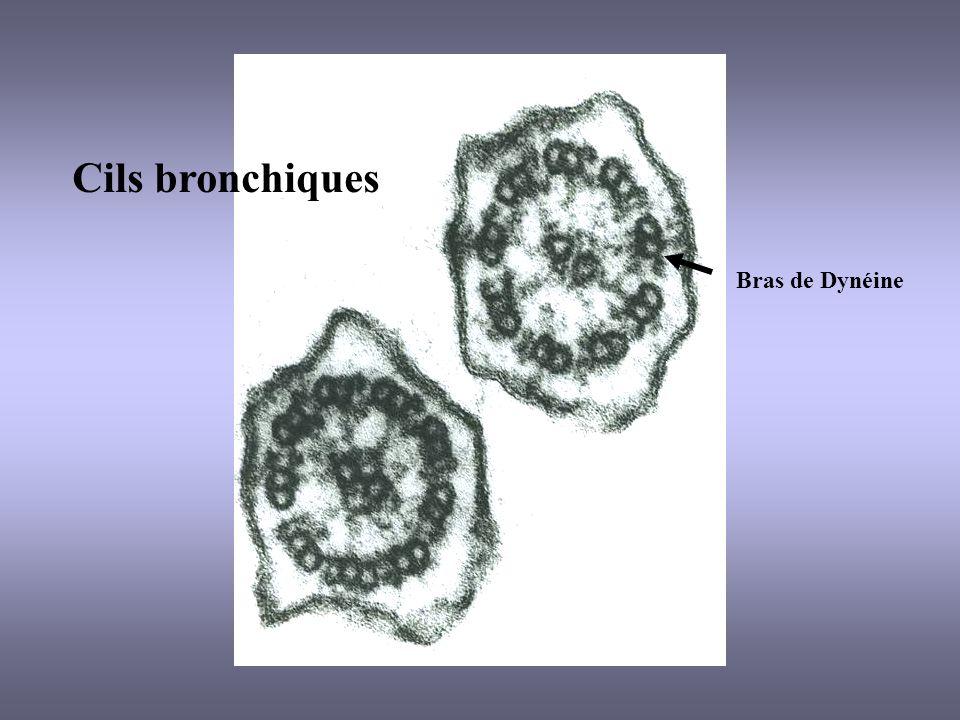 Cils bronchiques Bras de Dynéine
