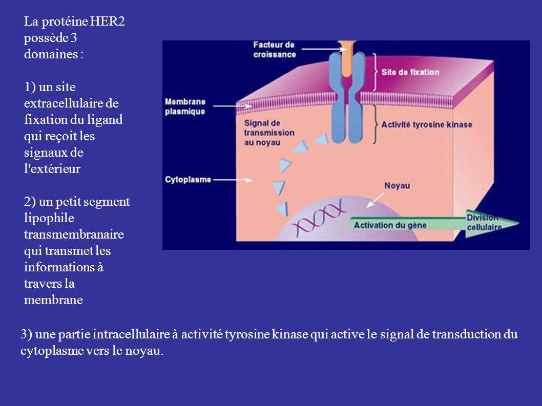 La protéine HER2 possède 3 domaines : 1) un site extracellulaire de fixation du ligand qui reçoit les signaux de l extérieur 2) un petit segment lipophile transmembranaire qui transmet les informations à travers la membrane