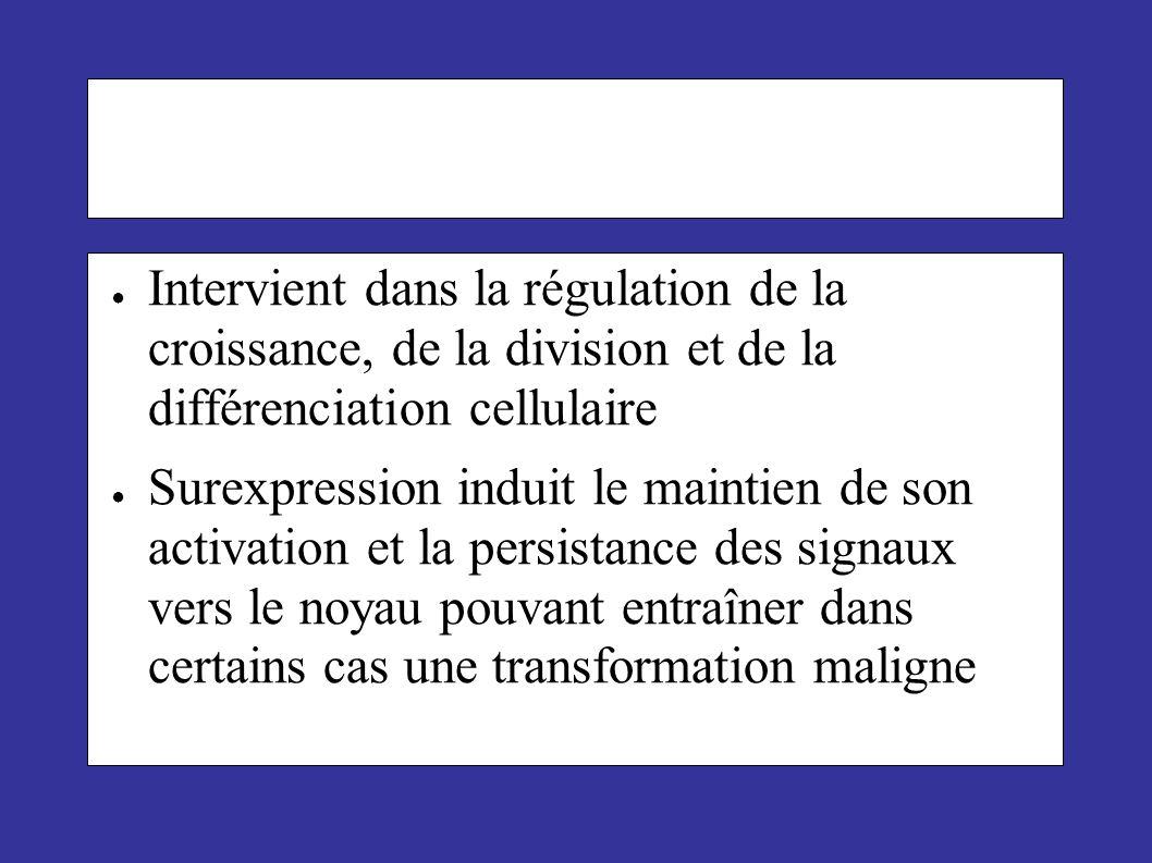 Intervient dans la régulation de la croissance, de la division et de la différenciation cellulaire