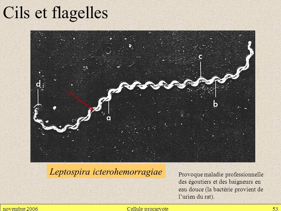 Cils et flagelles Leptospira icterohemorragiae