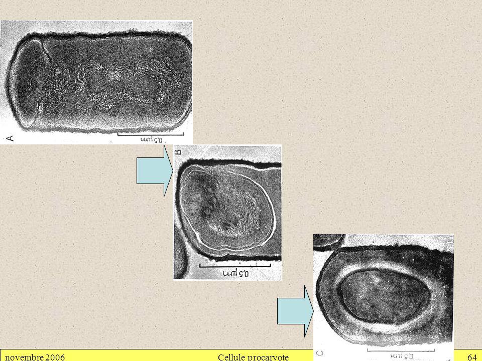 novembre 2006 Cellule procaryote