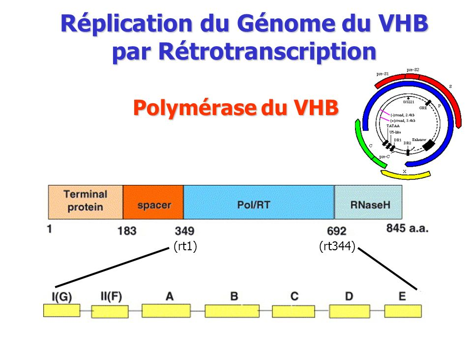 Réplication du Génome du VHB par Rétrotranscription