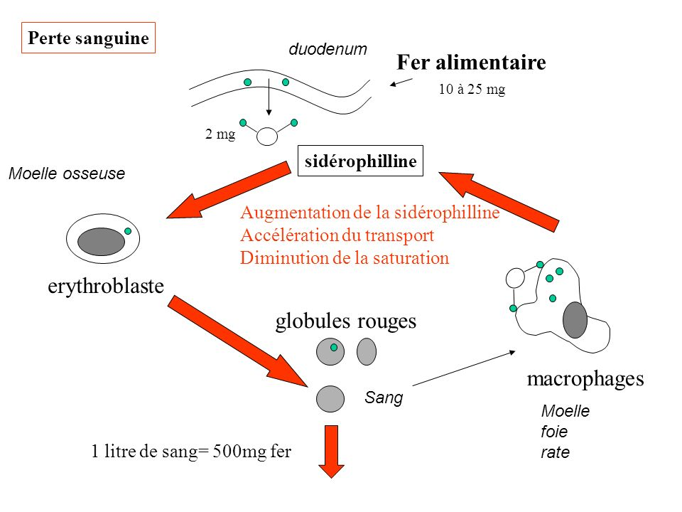 Fer alimentaire erythroblaste globules rouges macrophages