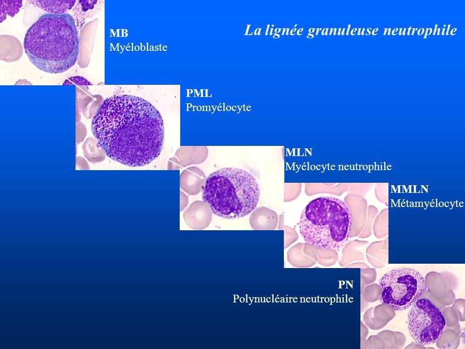 La lignée granuleuse neutrophile