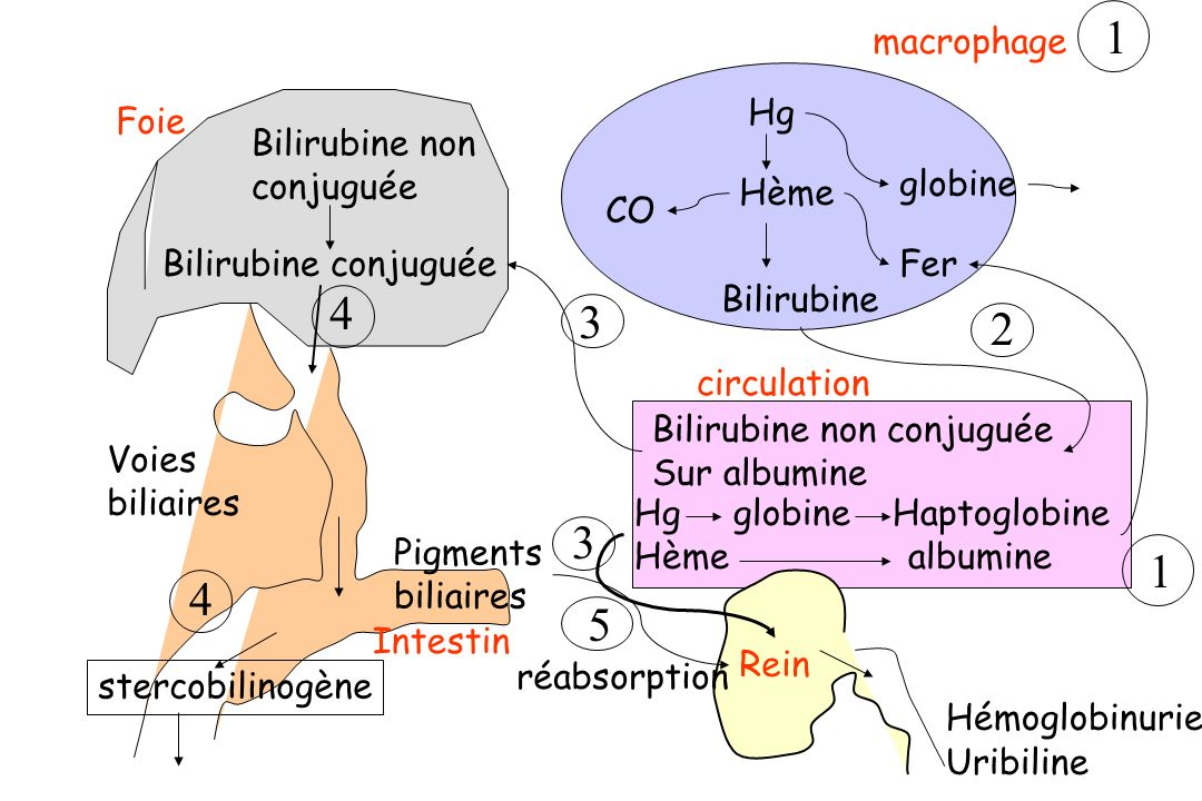 1 4 3 2 3 1 4 5 macrophage Hg Foie Bilirubine non conjuguée globine