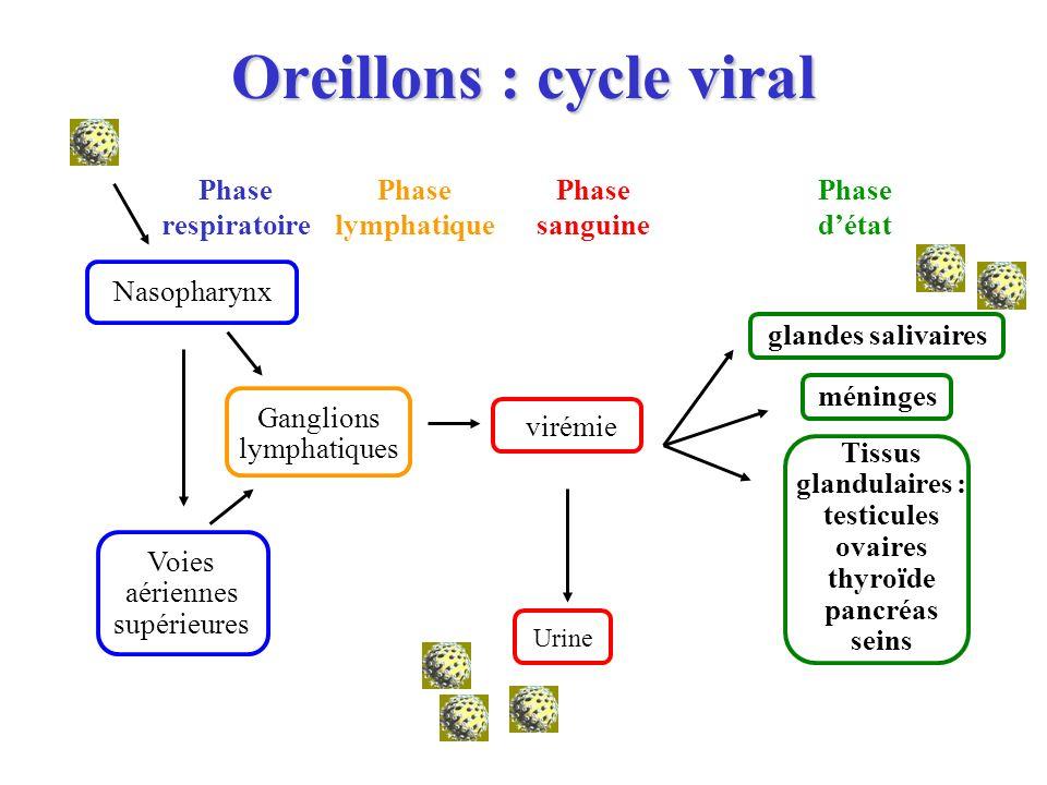 Oreillons : cycle viral