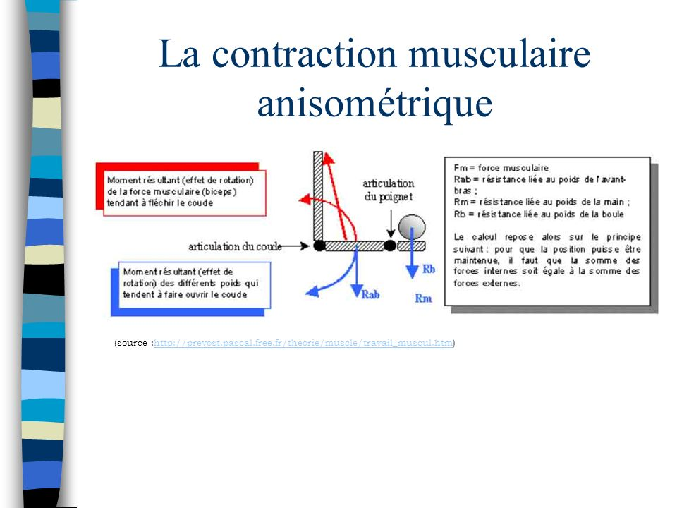 La contraction musculaire anisométrique