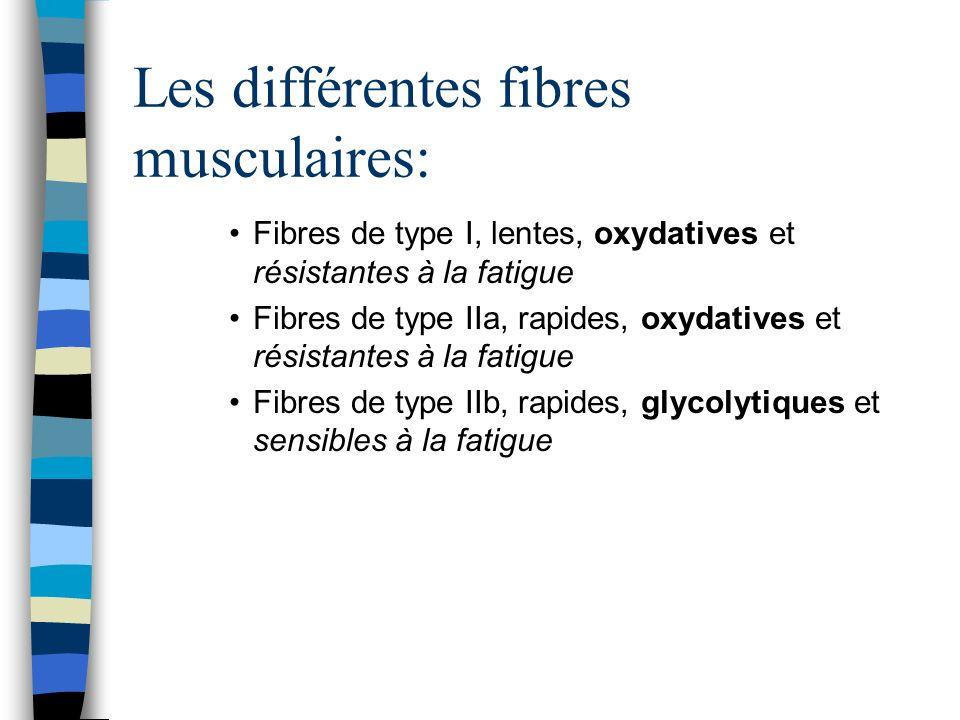 Les différentes fibres musculaires: