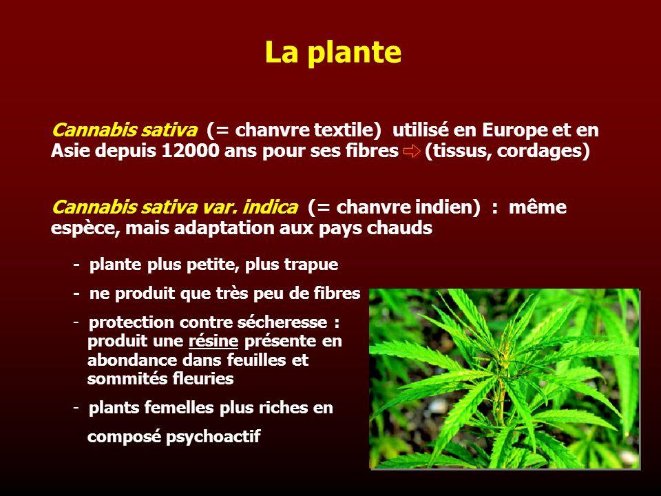 La plante Cannabis sativa (= chanvre textile) utilisé en Europe et en Asie depuis 12000 ans pour ses fibres (tissus, cordages)