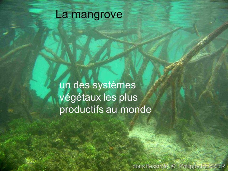 La mangrove un des systèmes végétaux les plus productifs au monde