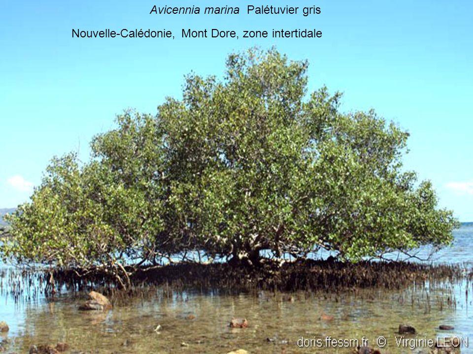 Avicennia marina Palétuvier gris