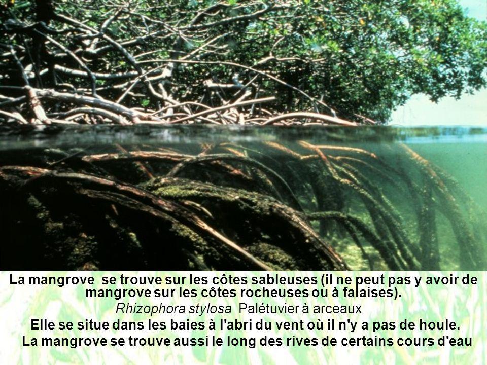 La mangrove se trouve aussi le long des rives de certains cours d eau