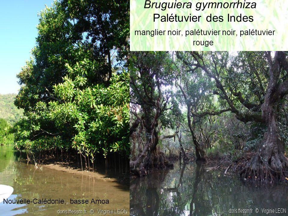 Bruguiera gymnorrhiza Palétuvier des Indes manglier noir, palétuvier noir, palétuvier rouge