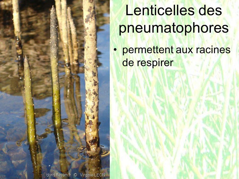 Lenticelles des pneumatophores