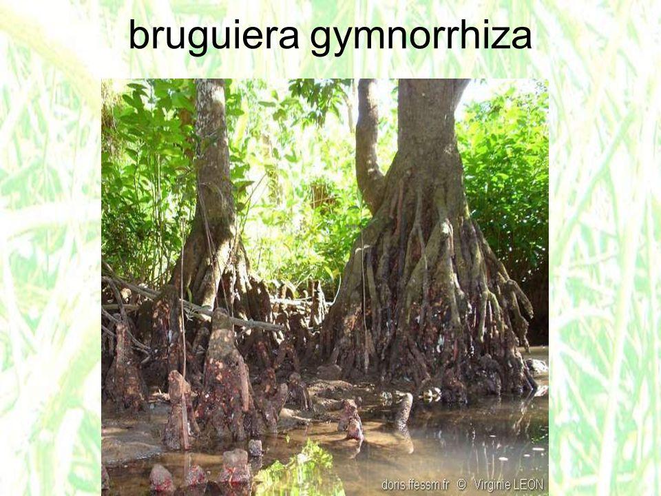 bruguiera gymnorrhiza