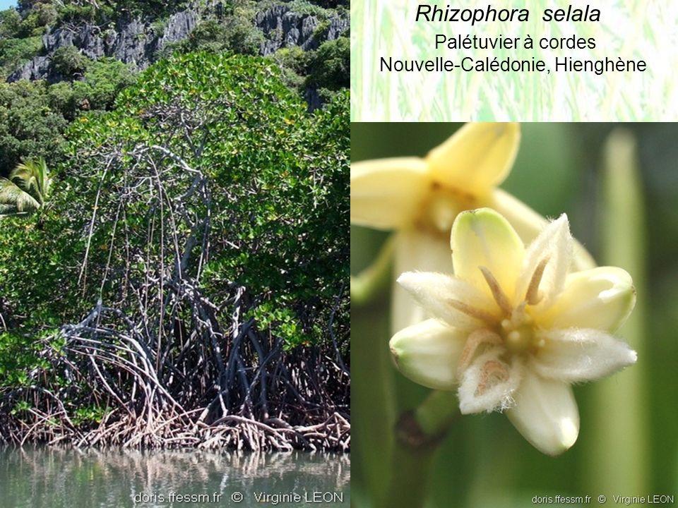 Rhizophora selala Palétuvier à cordes Nouvelle-Calédonie, Hienghène