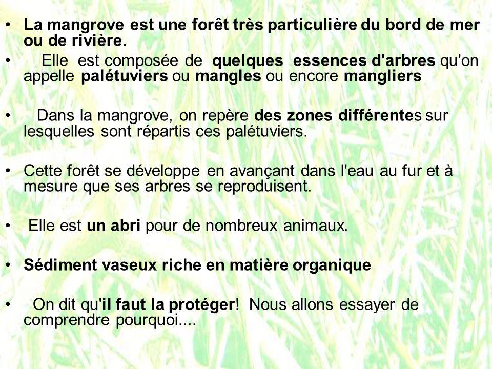 La mangrove est une forêt très particulière du bord de mer ou de rivière.