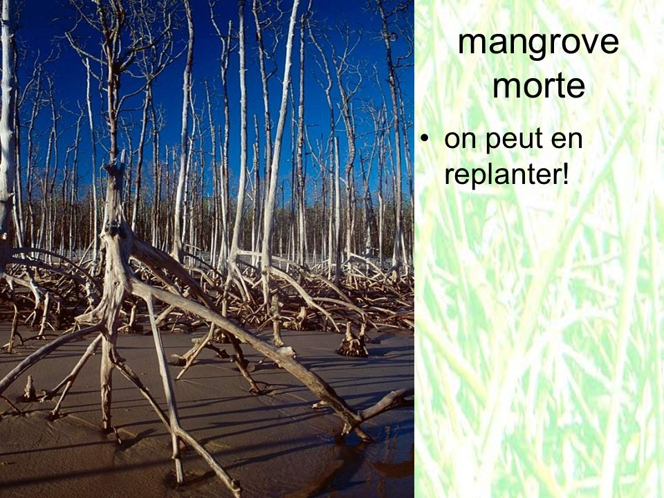 mangrove morte on peut en replanter!