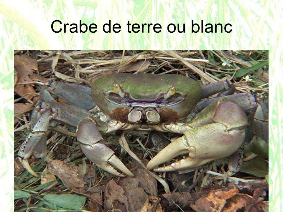 Crabe de terre ou blanc