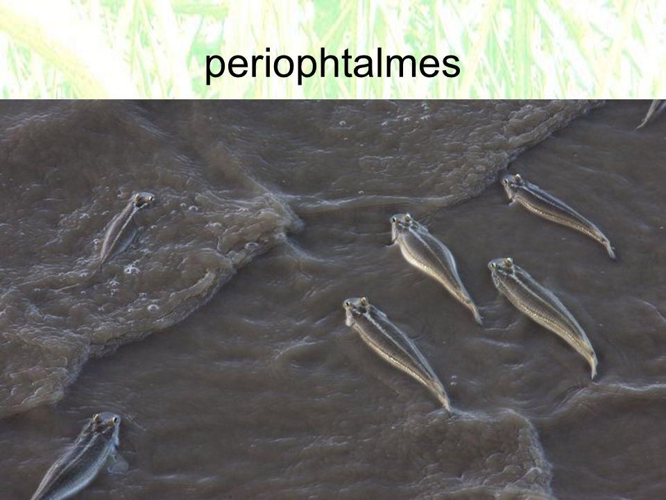 periophtalmes