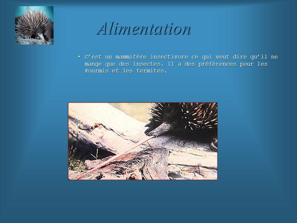 AlimentationC'est un mammifère insectivore ce qui veut dire qu'il ne mange que des insectes.
