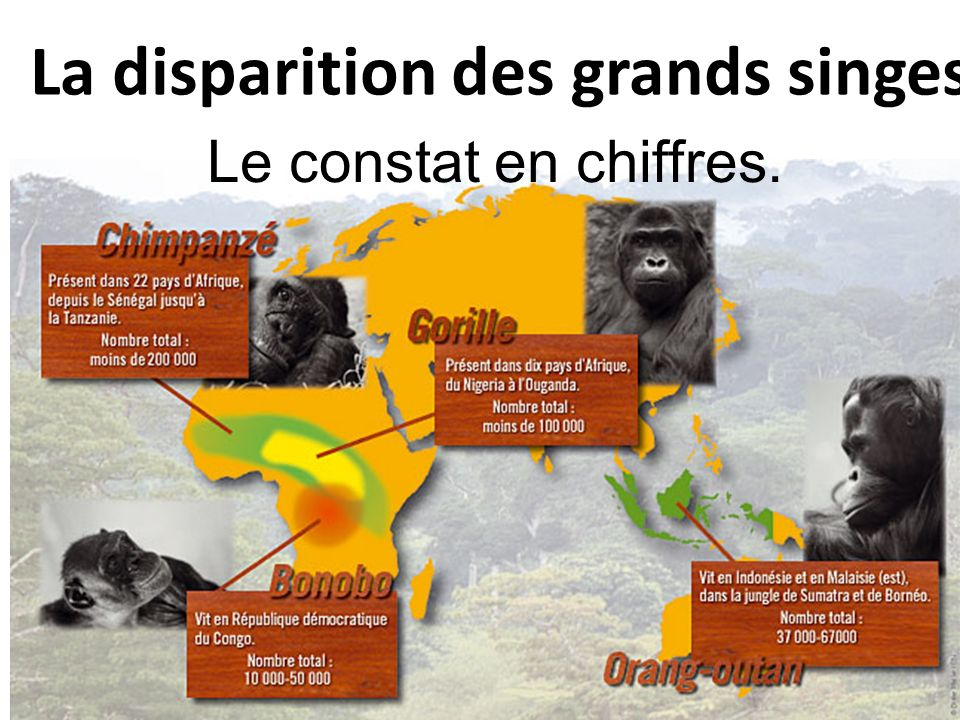 La disparition des grands singes
