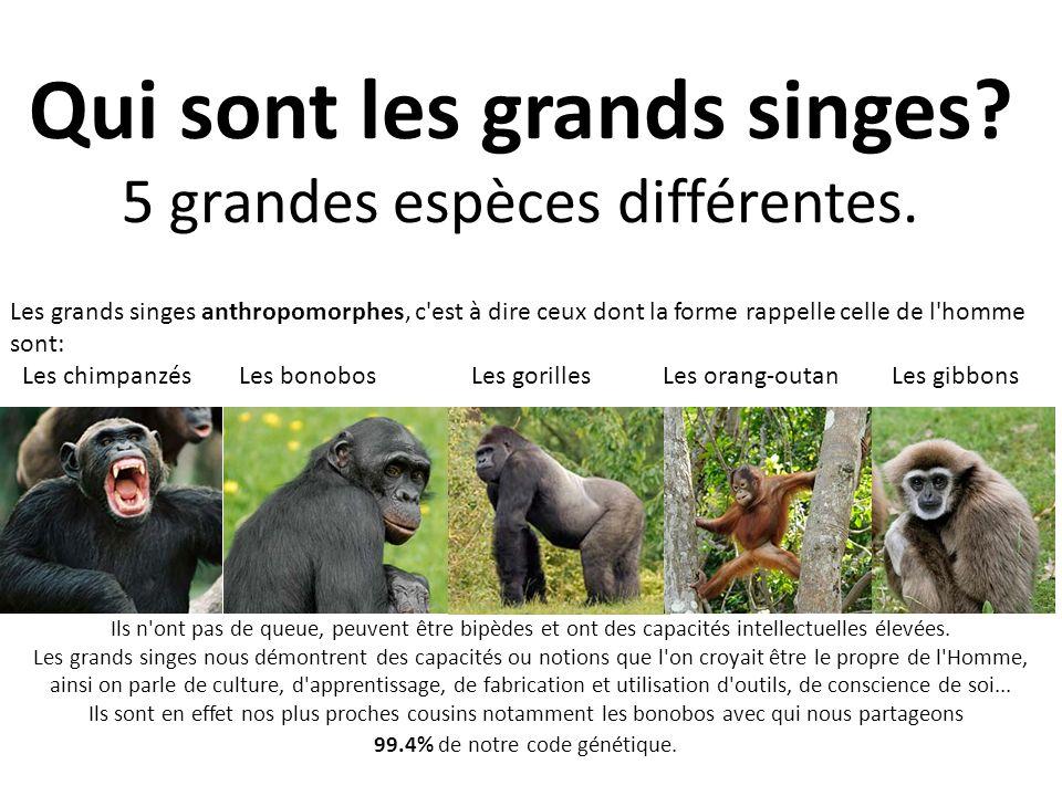 Qui sont les grands singes