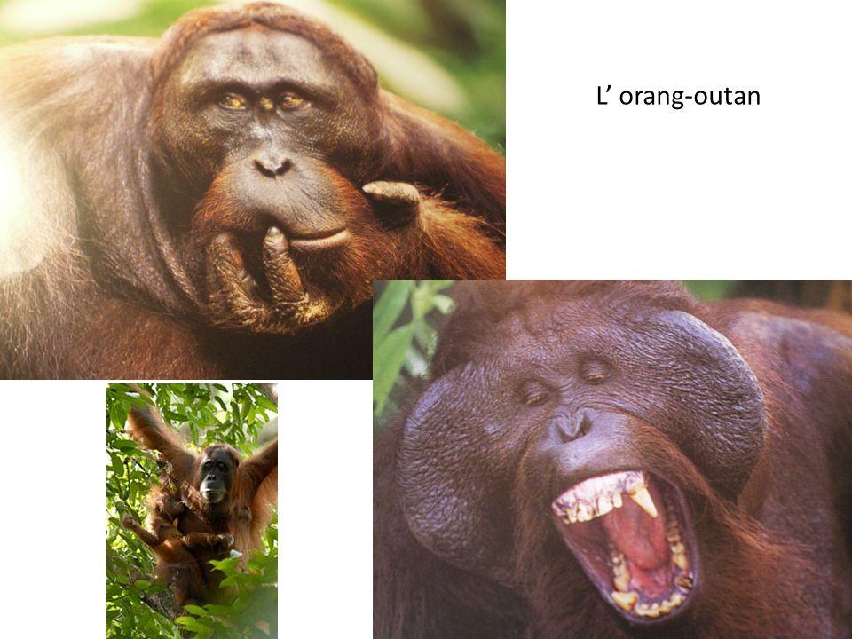 L' orang-outan