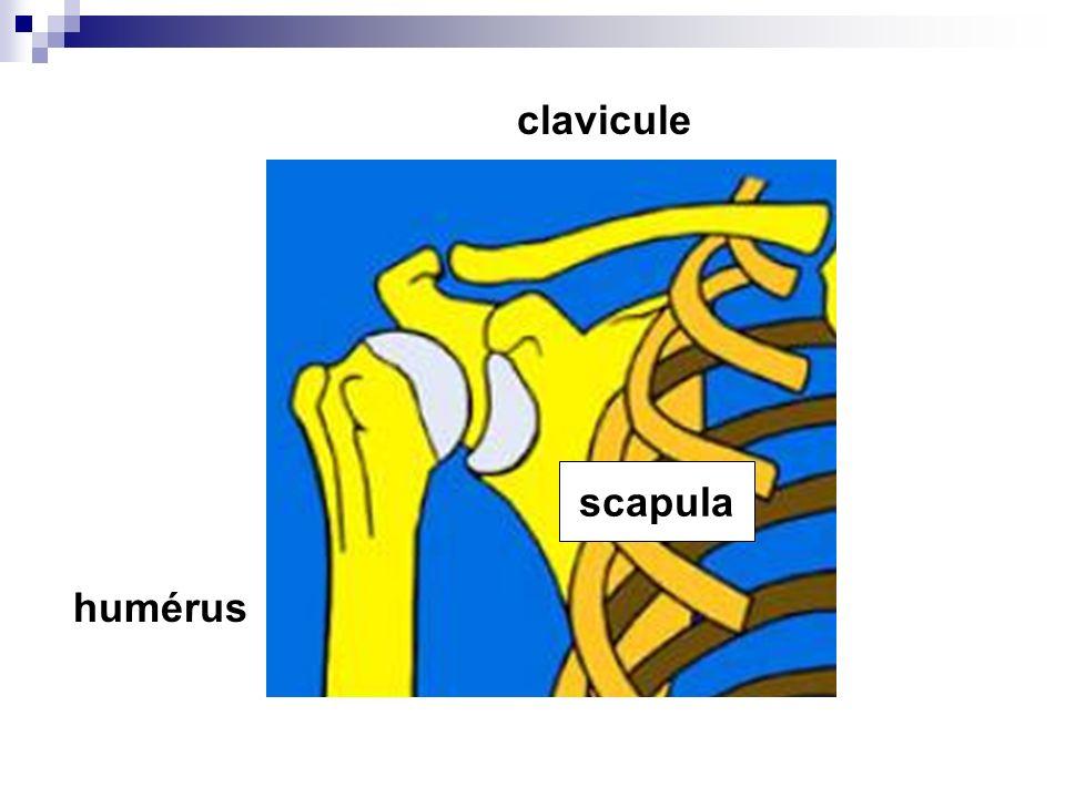 clavicule scapula humérus