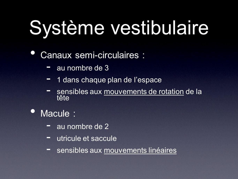 Système vestibulaire Canaux semi-circulaires : Macule : au nombre de 3