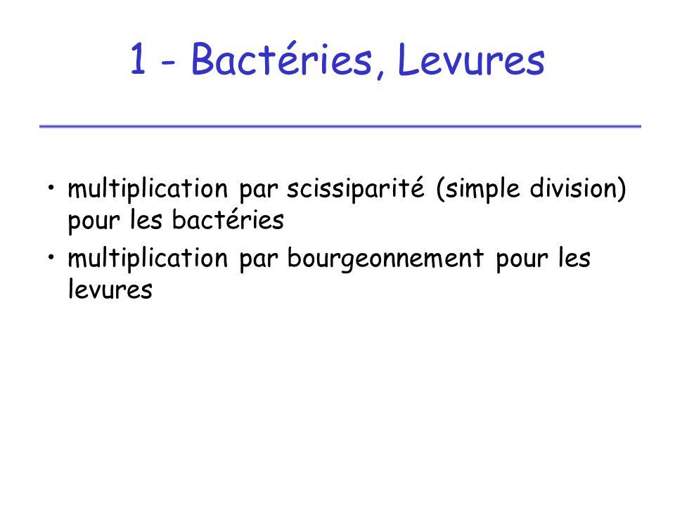 1 - Bactéries, Levures multiplication par scissiparité (simple division) pour les bactéries.