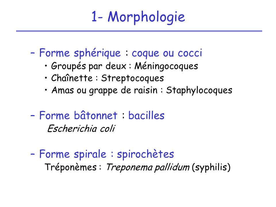 1- Morphologie Forme sphérique : coque ou cocci