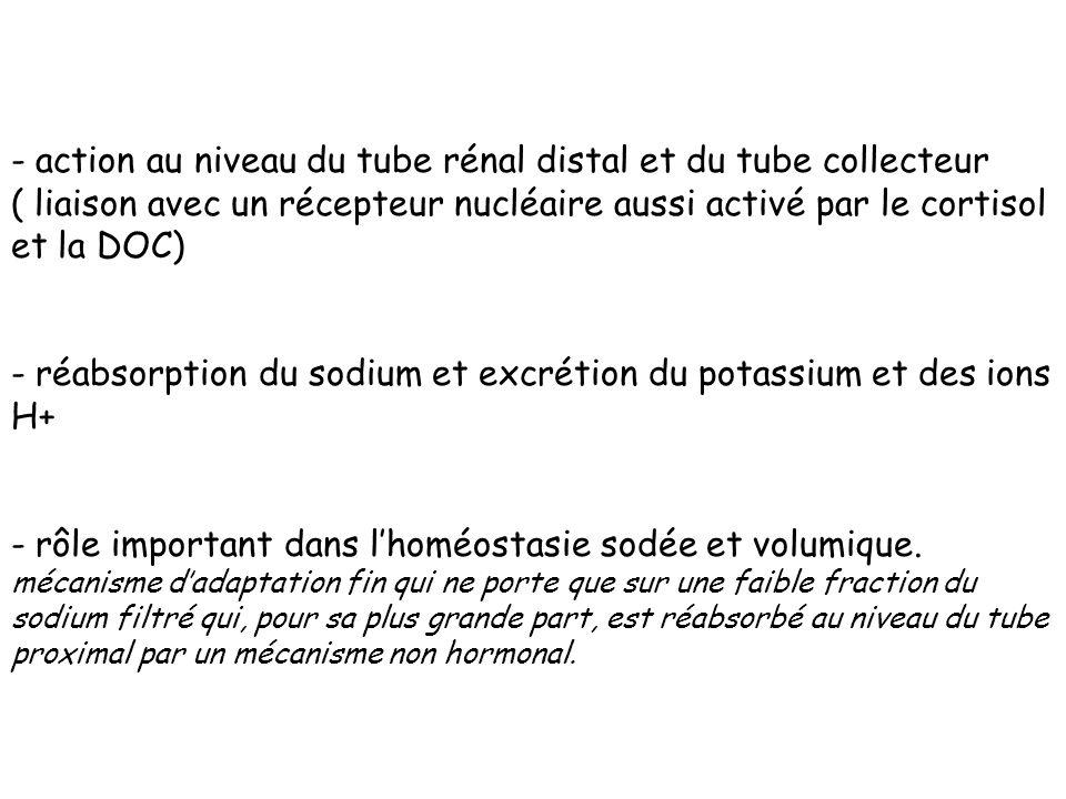 action au niveau du tube rénal distal et du tube collecteur ( liaison avec un récepteur nucléaire aussi activé par le cortisol et la DOC)